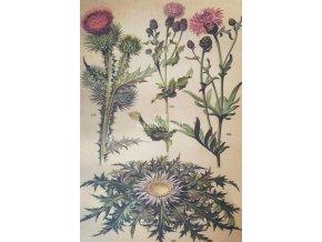 Botanický list bodláky I