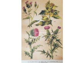 Botanický list bodláky II