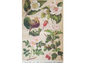 Botanický list šípky