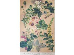 Botanický list lesní plody II