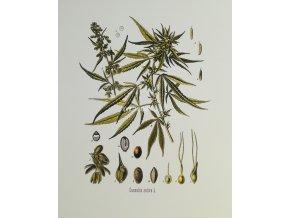 Cannabis III