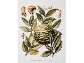 Cinnamomum (Skořicovník)