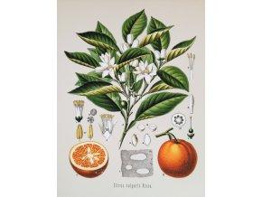 Citrus vulgaris