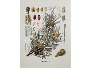 Pinus II