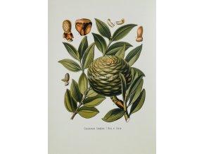 Cinnamomum (Skořicovník) II