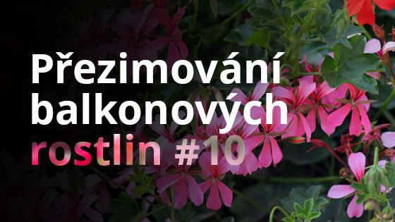 Přezimování balkonových rostlin #10