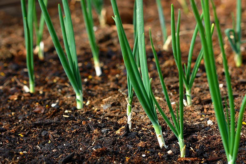 onions-in-garden