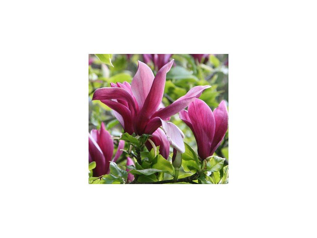 nigra květ