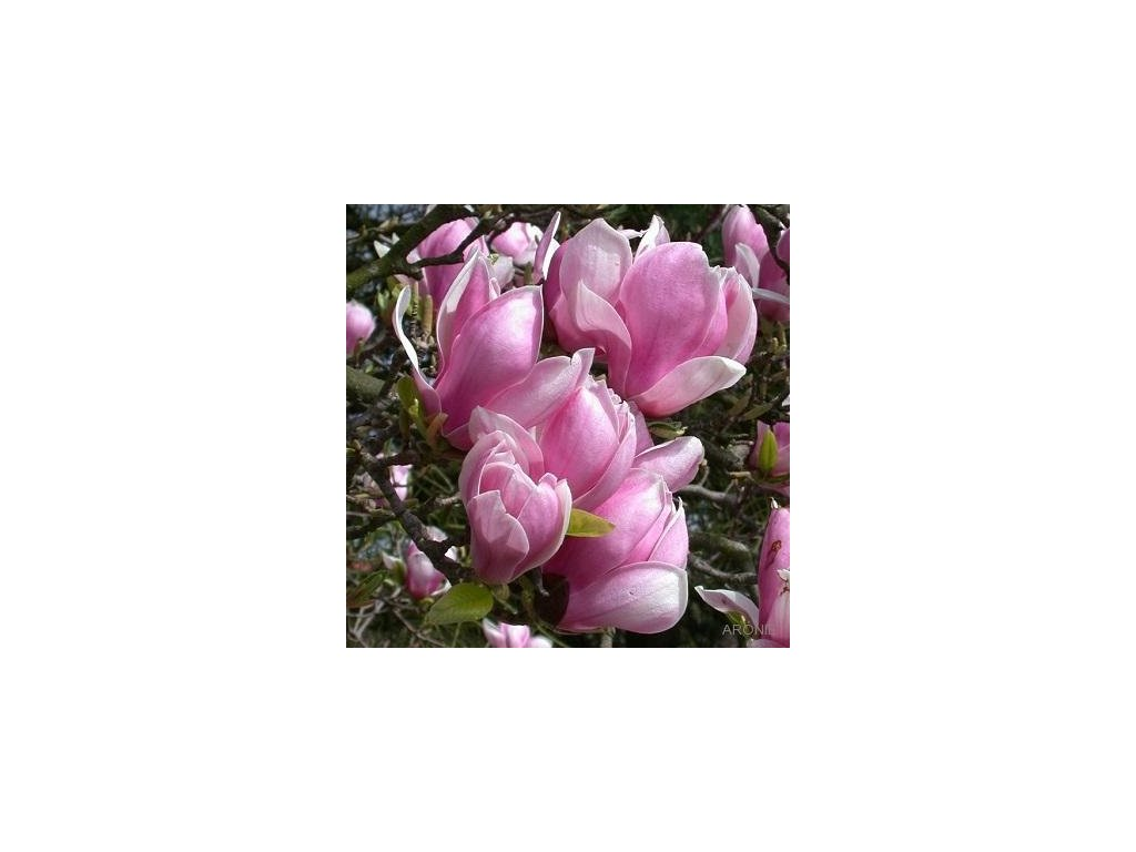 Magnolia x soulangiana květ