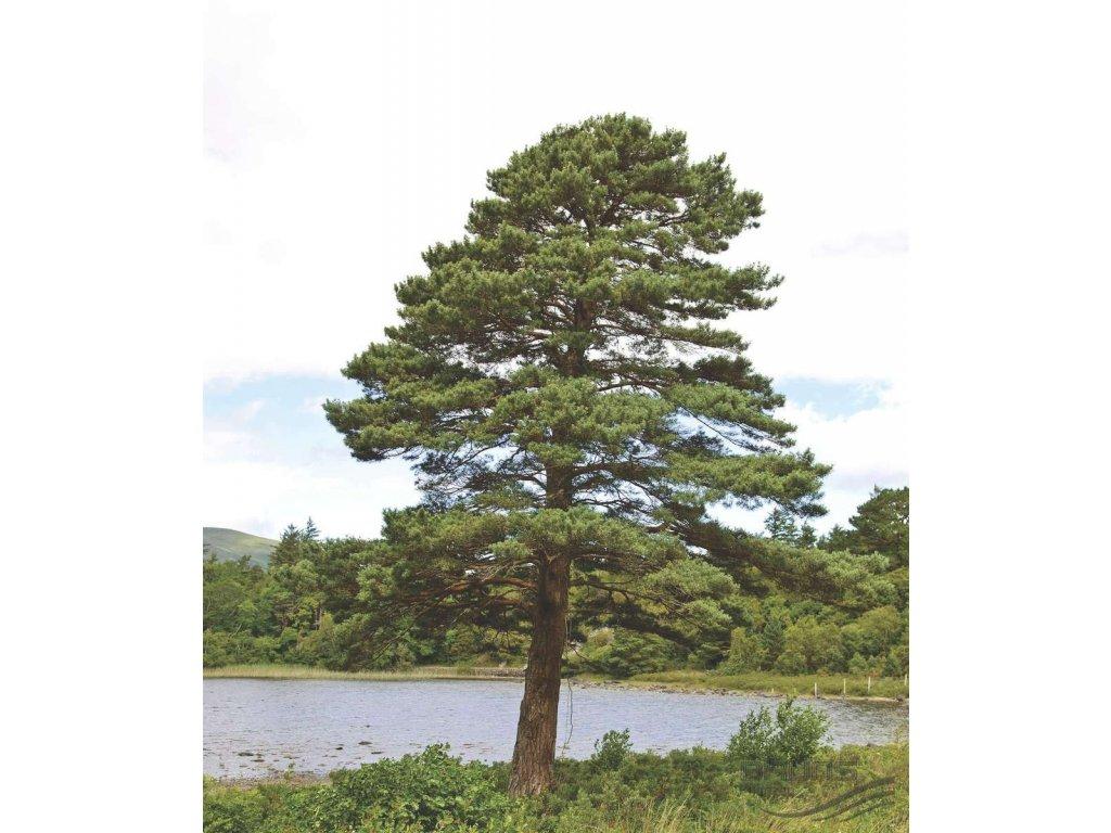 PINUS SYLVESTRIS, borovice lesní