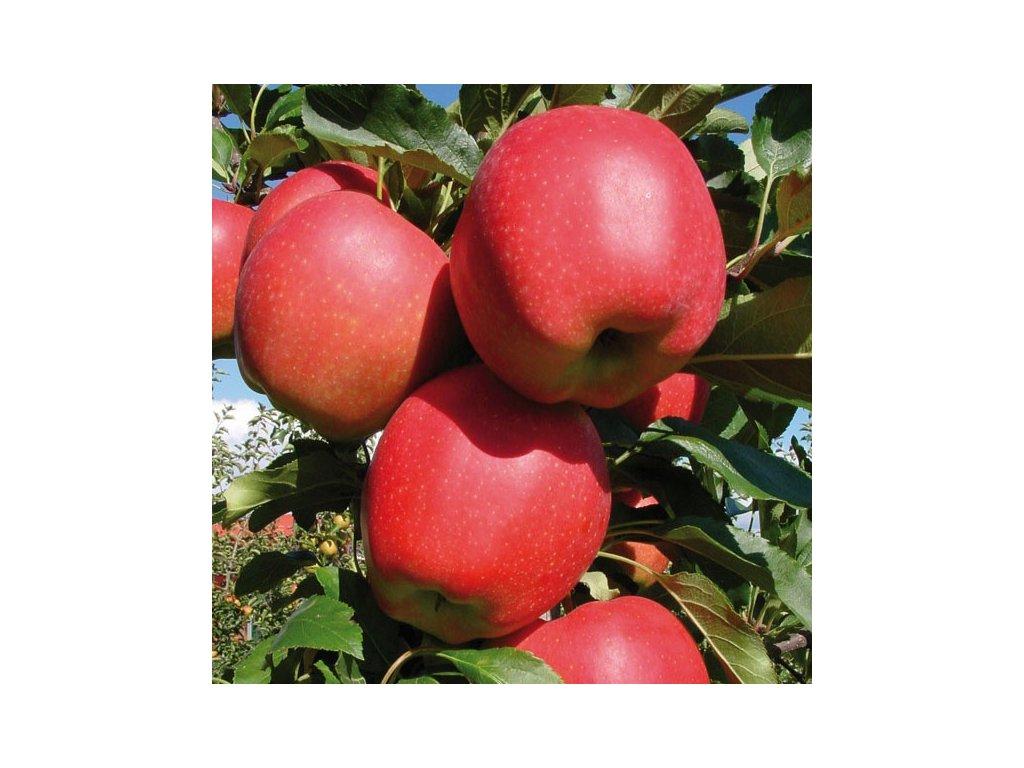 GALA zimní jabloň, podnož M26, zákrsek, prostokořenná sazenice