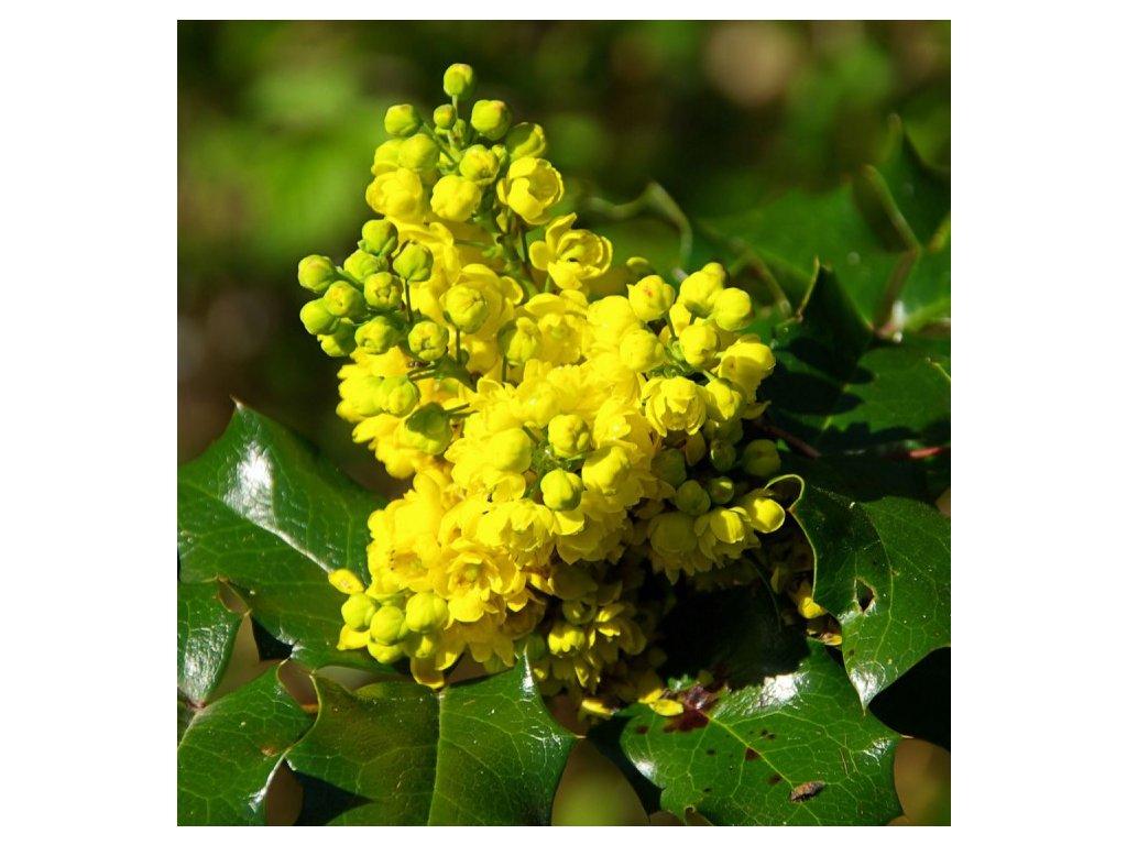 Mahonia aquilofolium 2