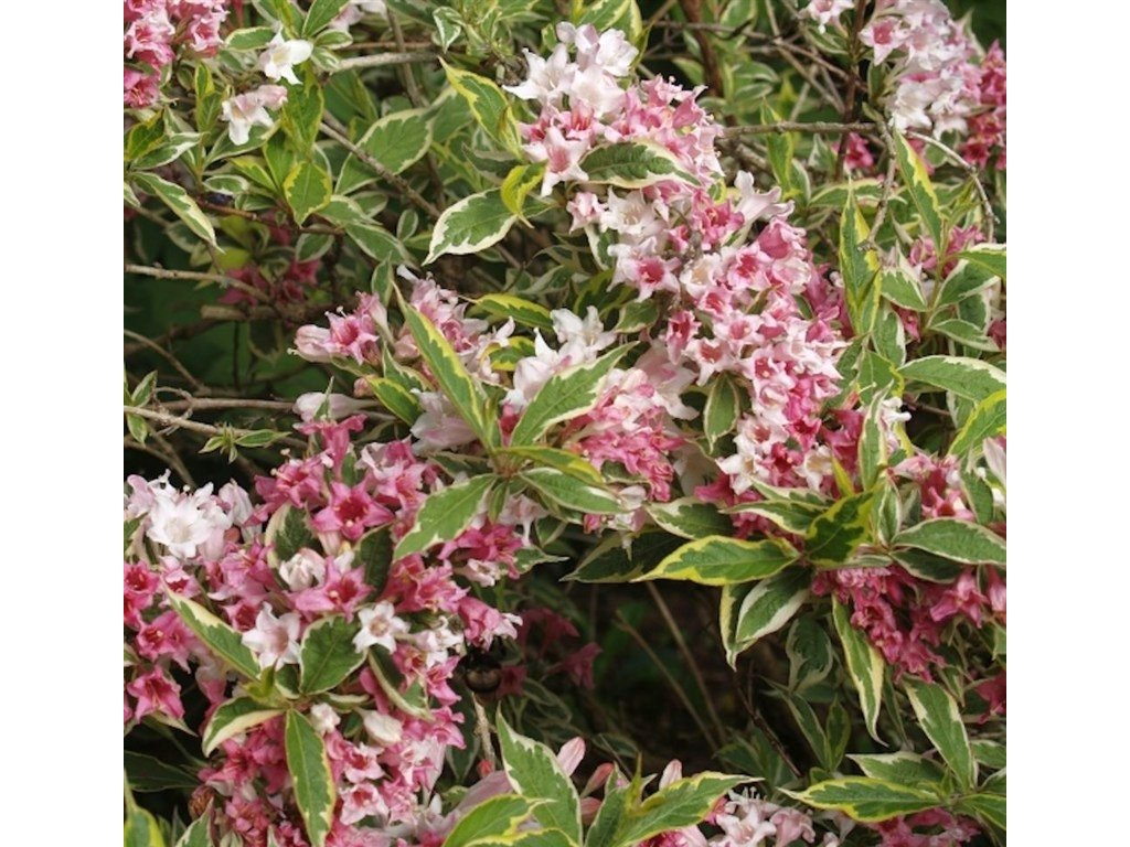 Weigelia florida 'Variegata'
