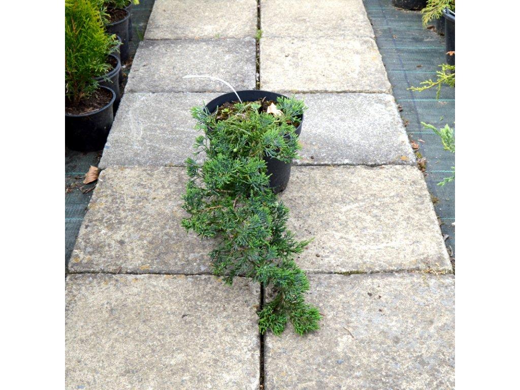 juniperus horizontalis wiltonii 02