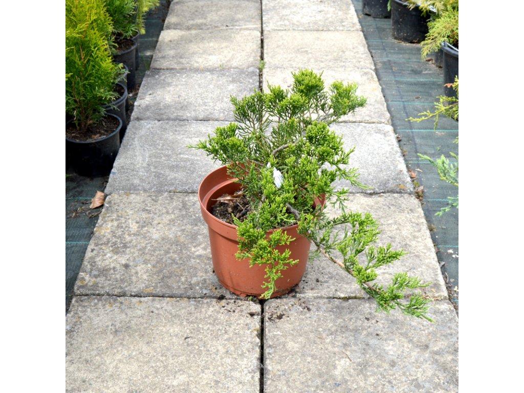 juniperus sabina tamariscifolia 02