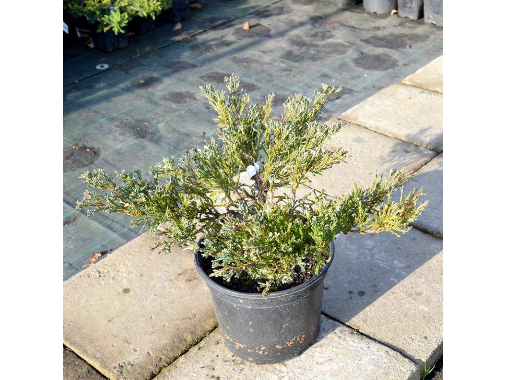 juniperus horizontalis andora variegata