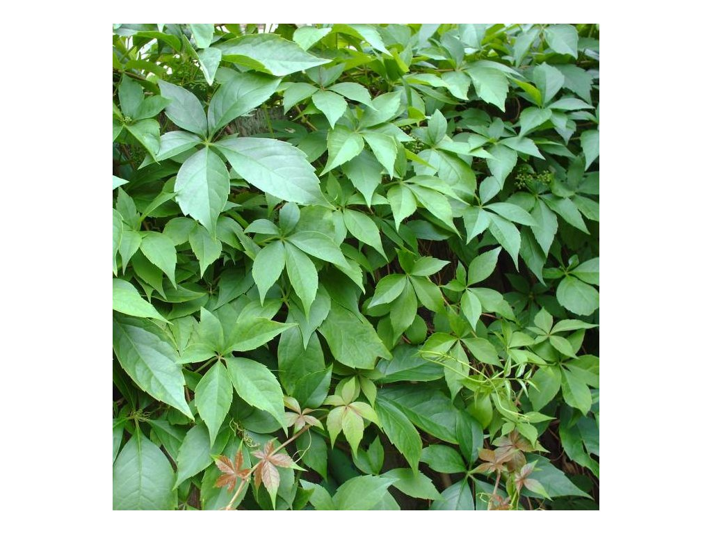 Parthenocissus quinquefolia, Loubinec, přísavník