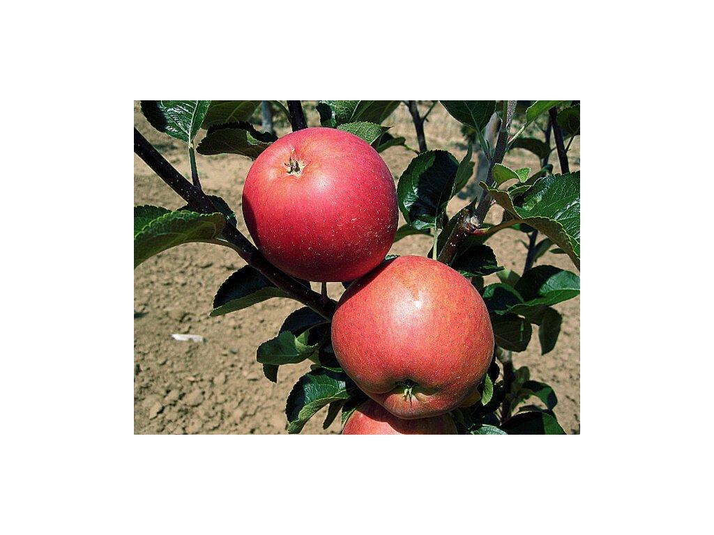 PETRA podzimní jabloň 1