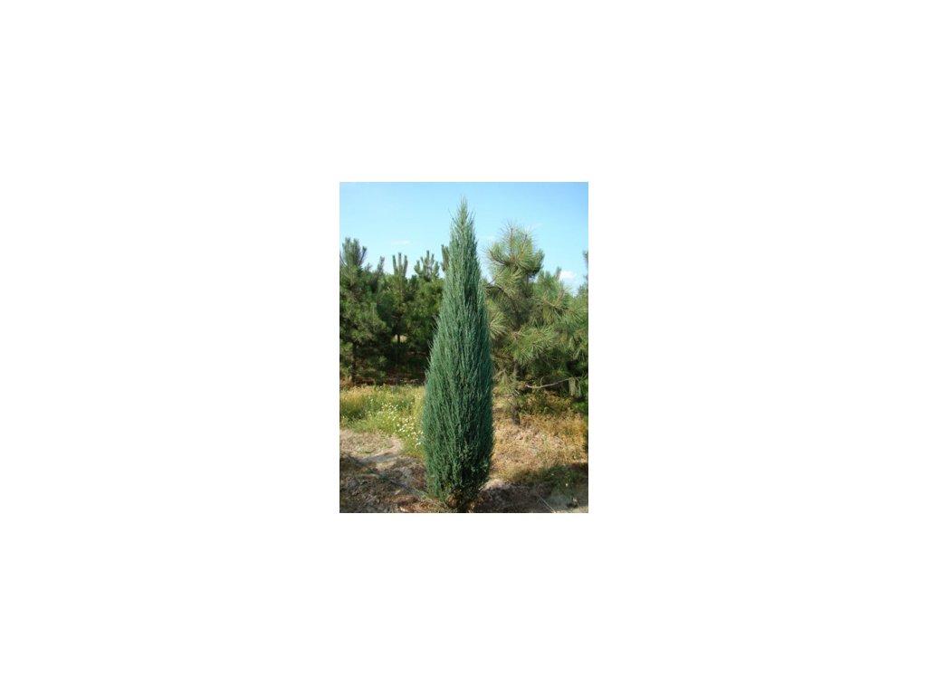 Juniperus virgininiana Skyrocket