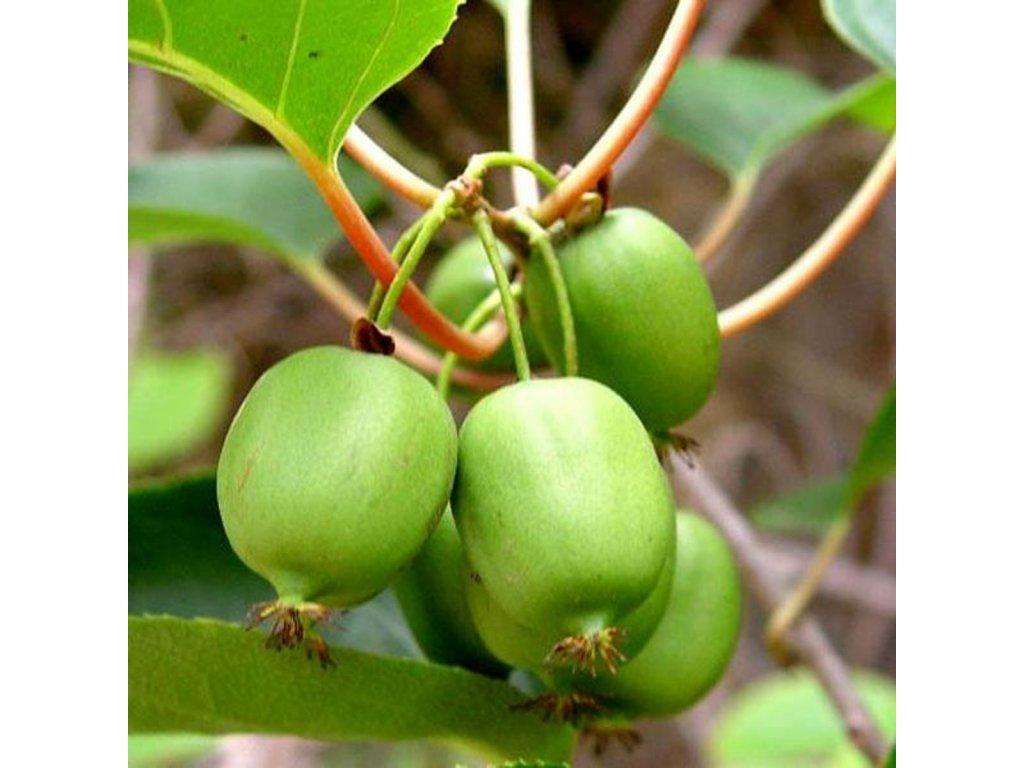 ISSAI kiwi pozdní odrůda