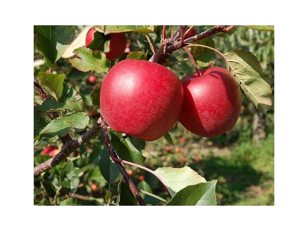 ROSANA zimní jabloň