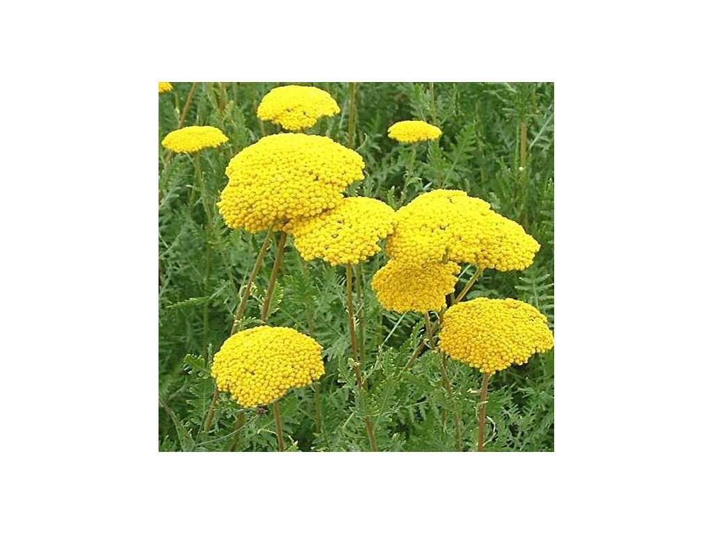 summergold