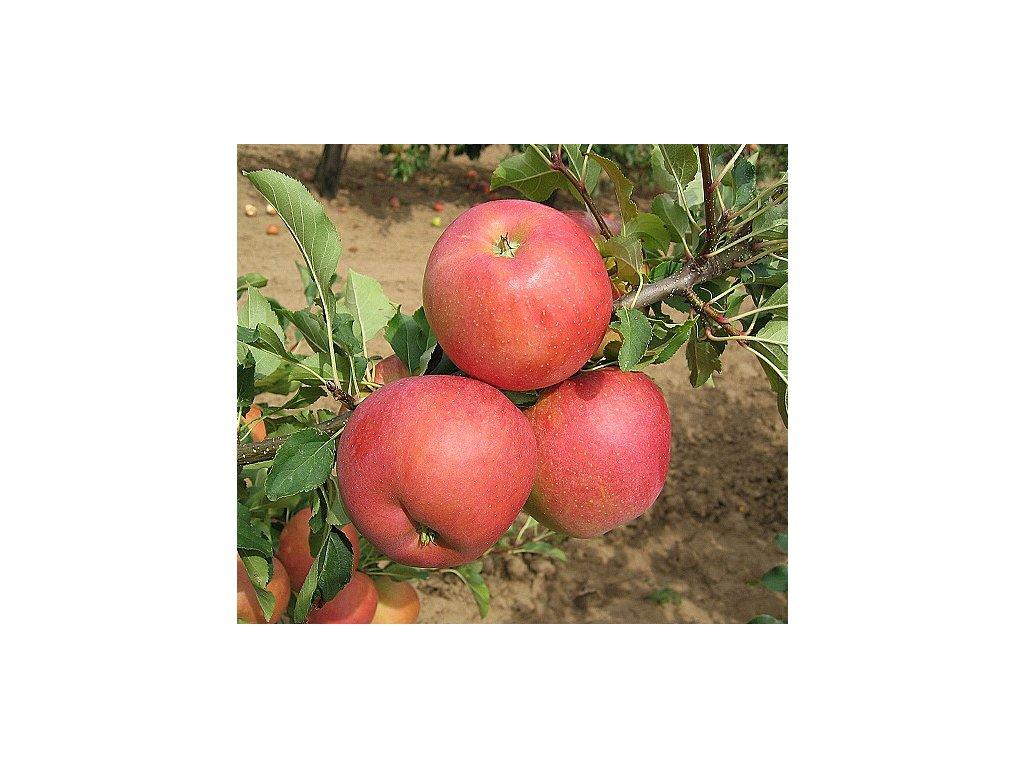 ŠAMPION RED zimní jabloň