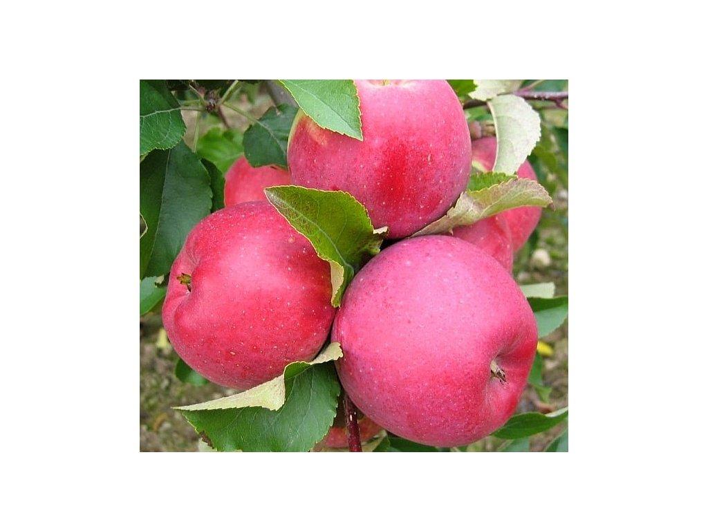 MELODIE zimní jablon 3