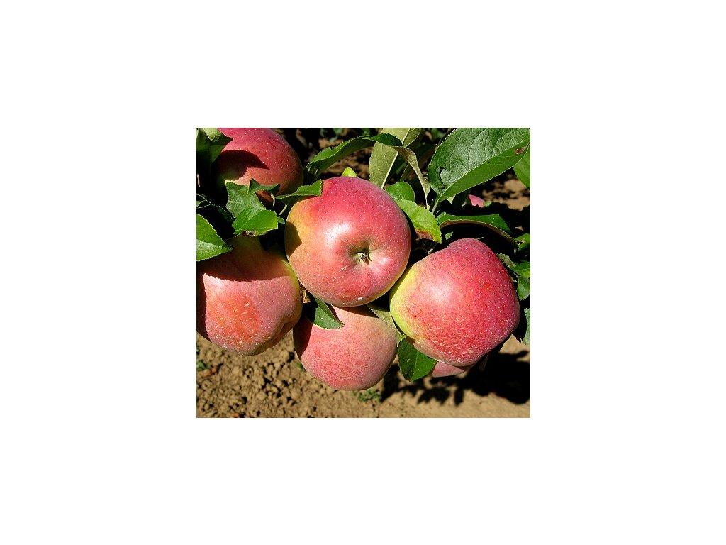 PRIMADELA zimní jabloň 3