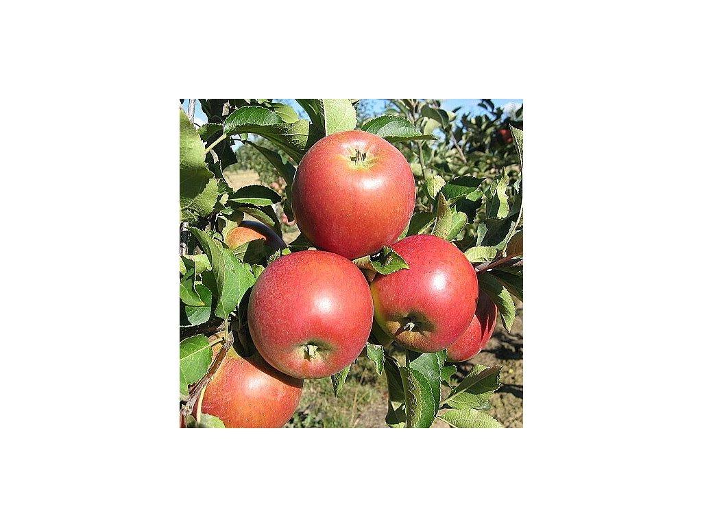 RAJKA zimní jabloň