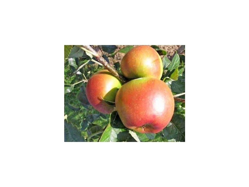 RELUGA zimní jabloň 2