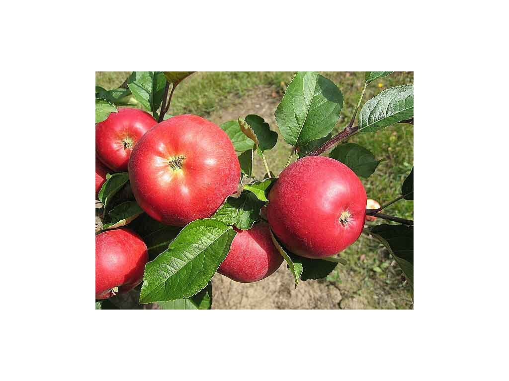 VIKTORIA zimní jabloň