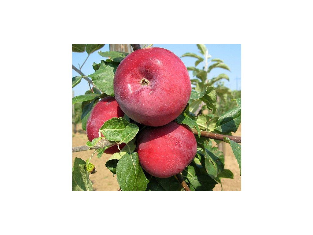 ADMIRÁL pozdně zimní jabloň