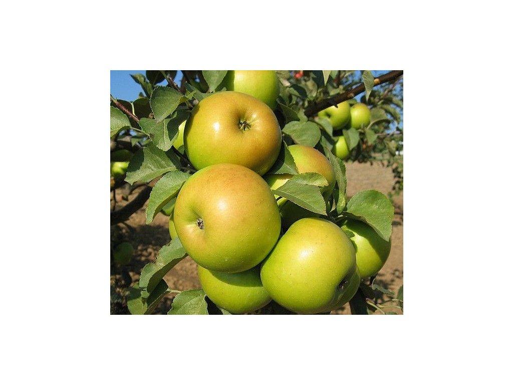 GOLDSTAR pozdně zimní jabloň 1