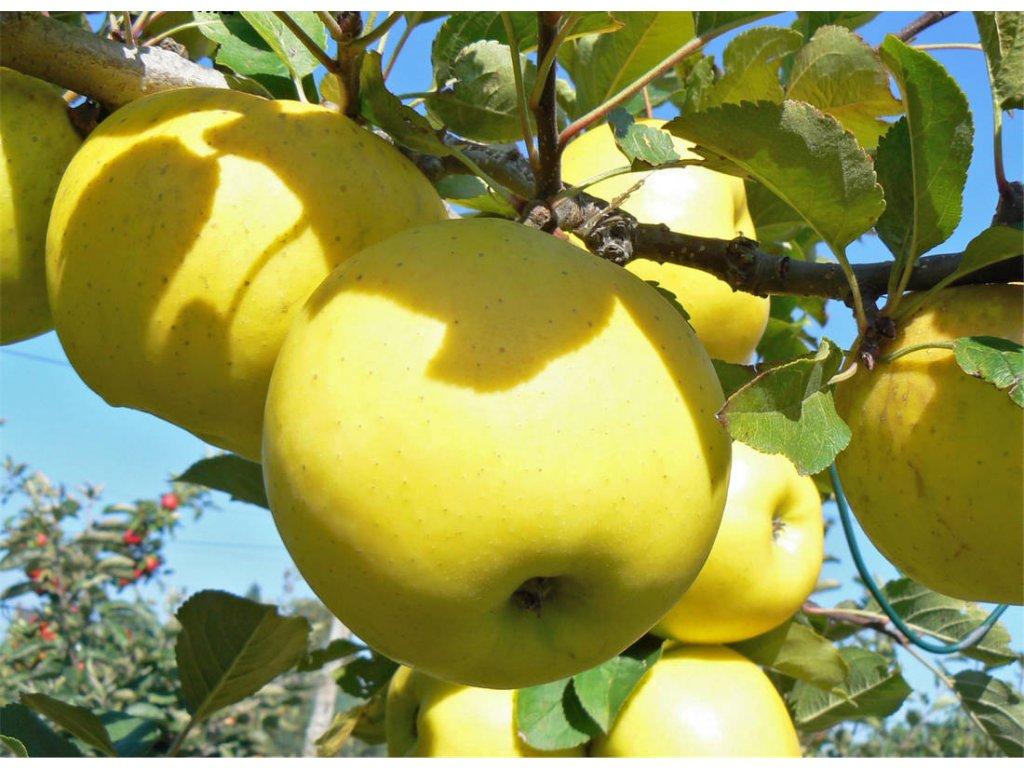 GOLD BOHEMIA zimní jablon
