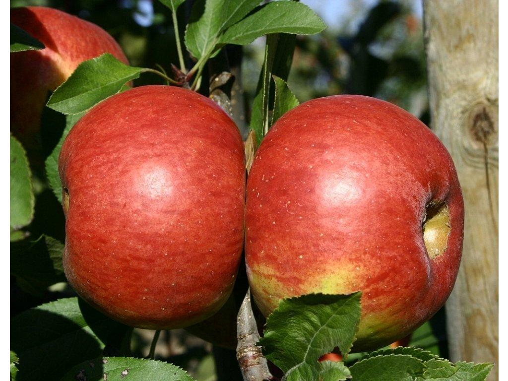 TOPAZ zimní jabloň
