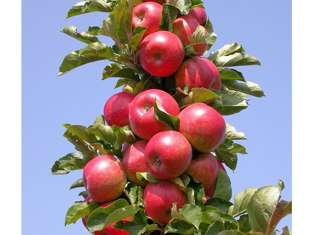 RONDO sloupovitá raně zimní jabloň, podnož MM106, prostokořenná sazenice