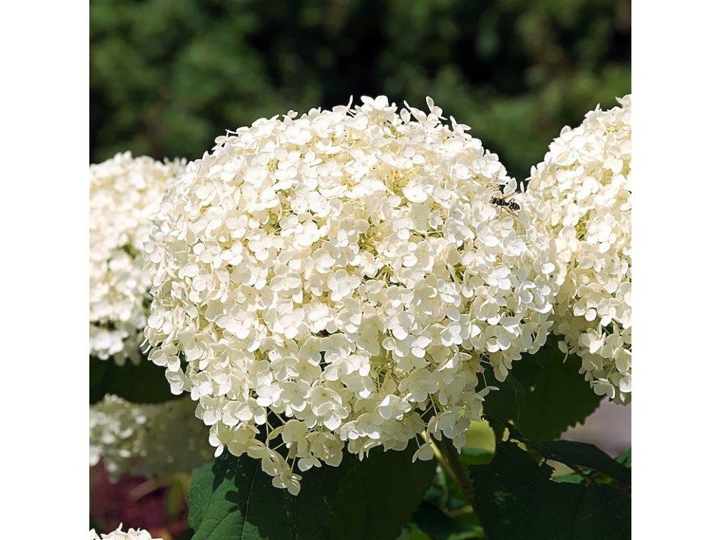 Annabelle 2 květ