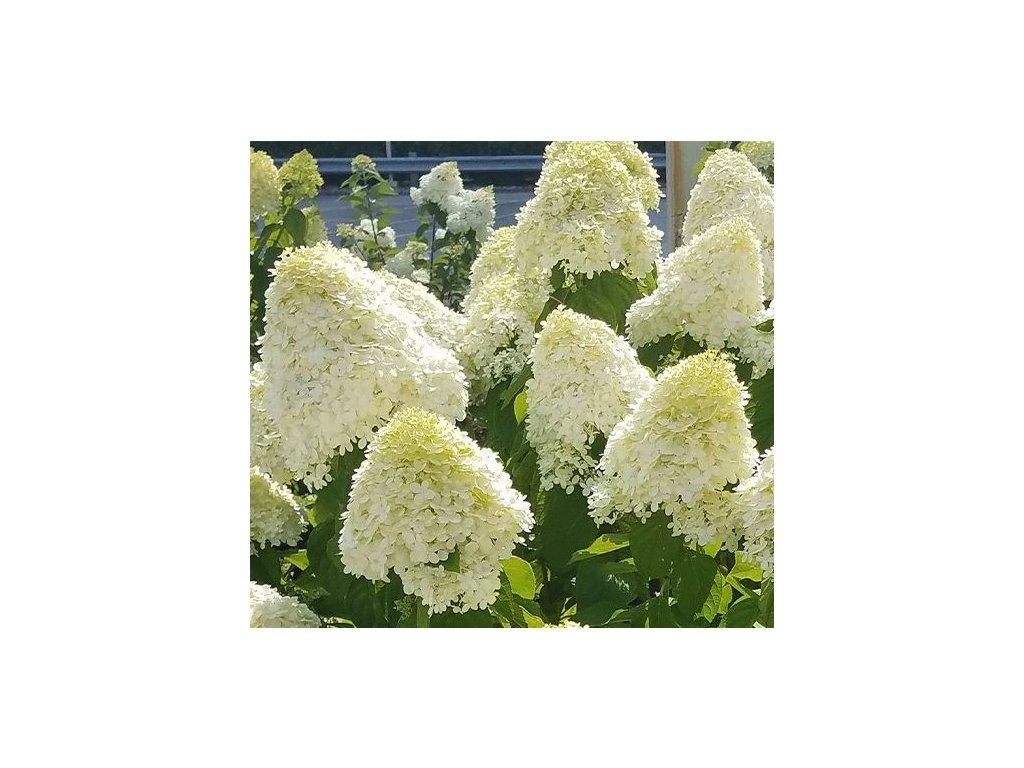hydrangea paniculata limelight r