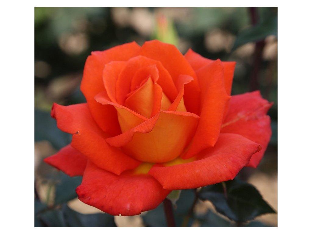 ORANGE velkokvětá růže