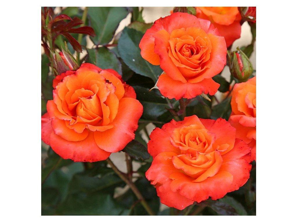 TEQUILA mnohokvětá růže