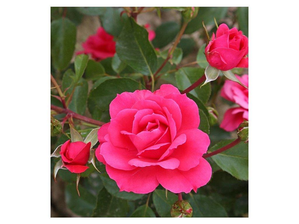 TOM TOM mnohokvětá růže