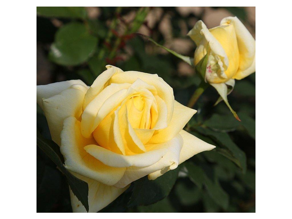 LANDORA velkokvětá růže