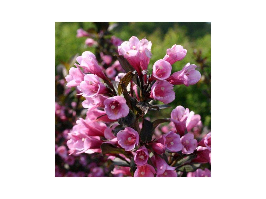 Weigela florida 'Nana Purpurea'2