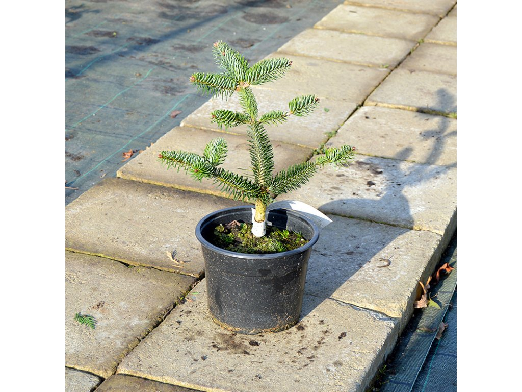 abies amabilis spreading star