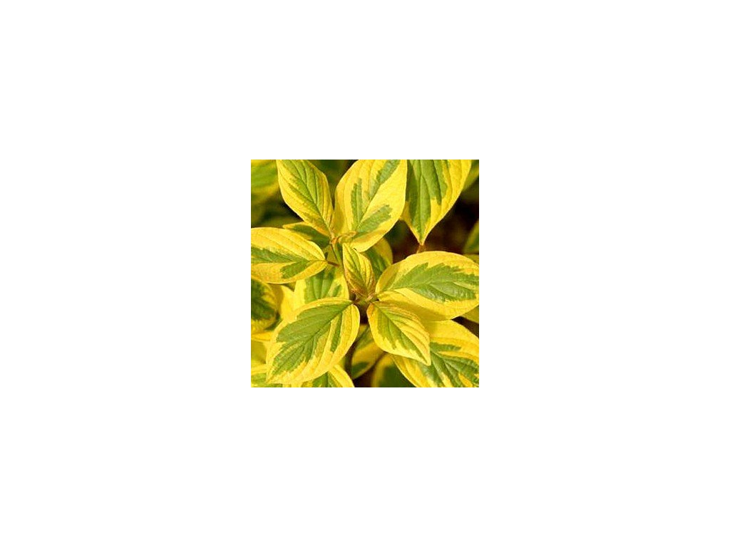 Cornus alba 'Spaethii' svída bílá, v30-40cm, k2l