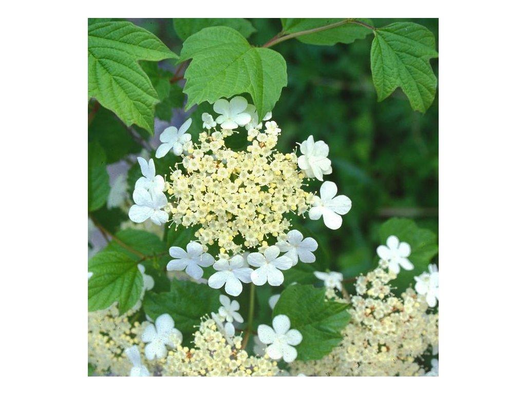viburnum květ