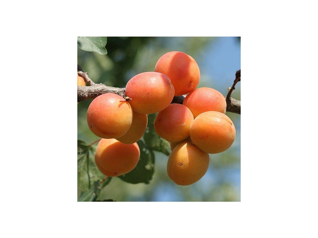 GOLDRICH středně raná meruňka