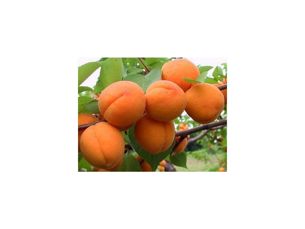 HARGRAND středně raná meruňka
