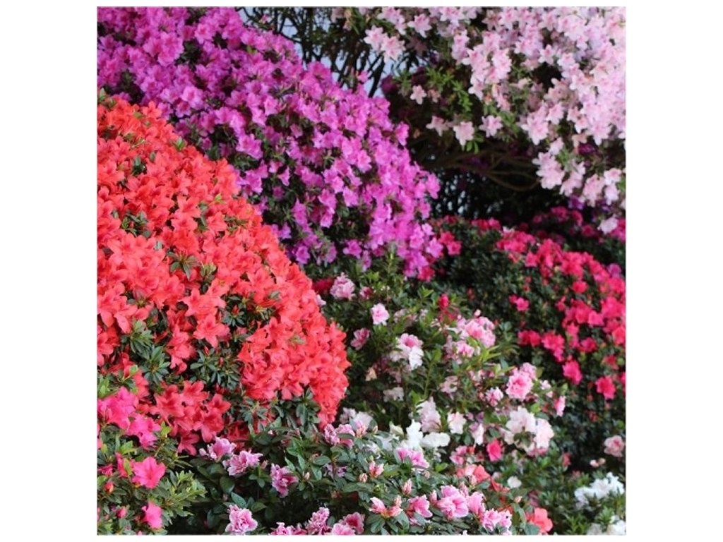 azalea japonica collection750x750